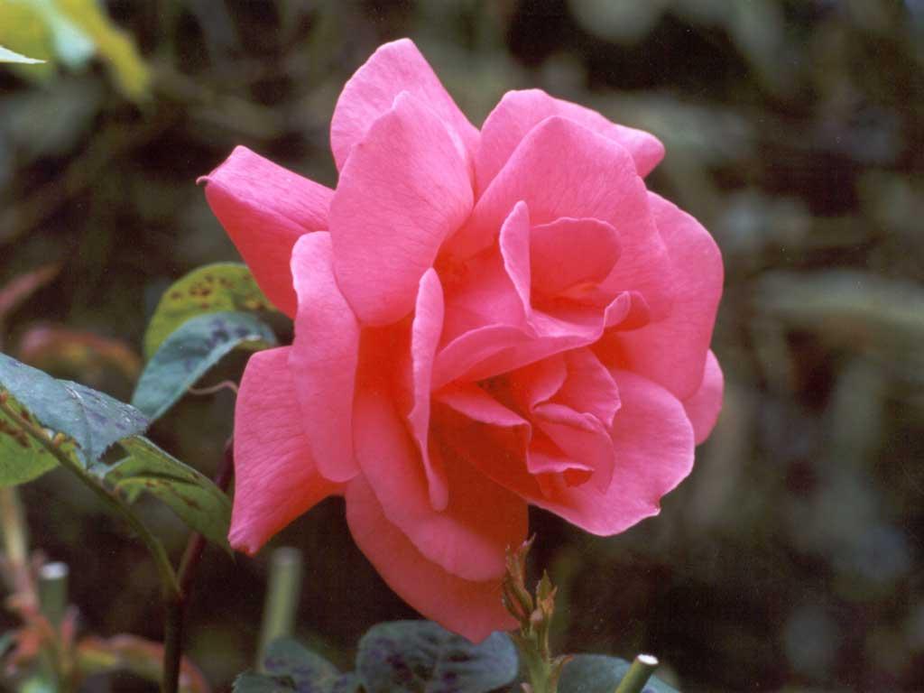 tea-rose-pink.jpg