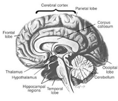 brain_altruism.jpg