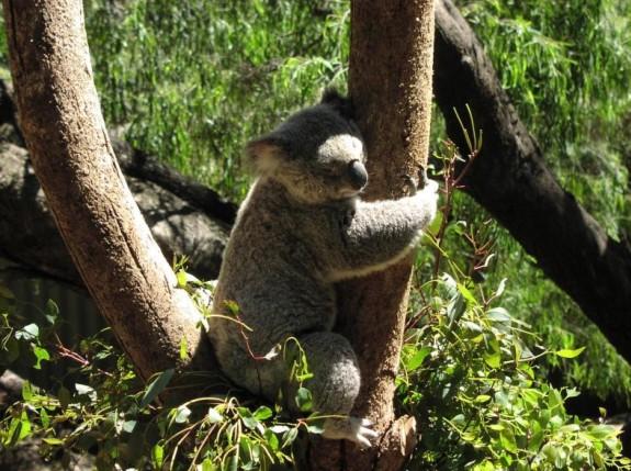 cuddly-koala.jpg