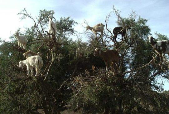 goat-tree3.jpg