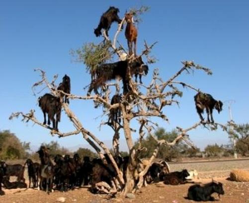 tree-goat-1.jpg