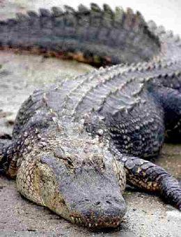 crocodil.jpg